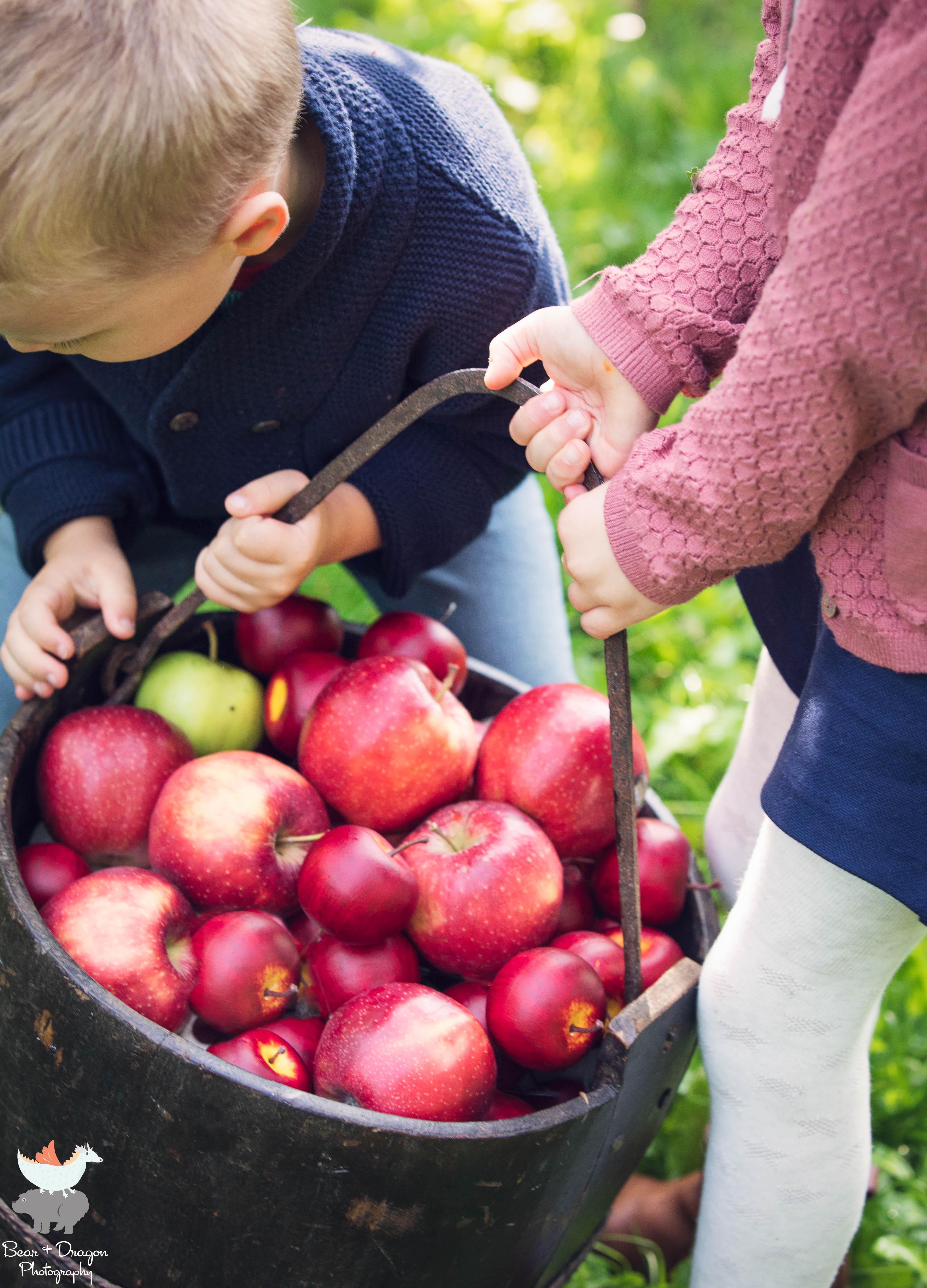 Apple Harvest Blog-3